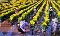 Aldeas florales de Dong Thap Muoi reciben visitas en vísperas del Tet