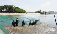 Sector acuícola vietnamita por elevar valor de exportaciones de camarón