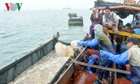 Distrito insular de Co To adelanta la pesca de medusas