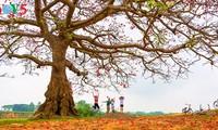 Brilla el color rojo del algodonero en campo norteño de Vietnam