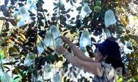 """Fruta vietnamita """"Caimito"""" penetra en el mercado estadounidense"""