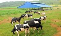 Memperkenalkan sepintas lintas tentang peternakan sapi perah Vietnam