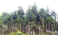 Perkenalan sepintas lintas tentang Hutan produksi di Vietnam