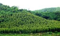 VOV5 memperkenalkan selintas lintas tentang hutan produksi di Vietnam