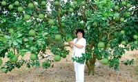 Petani memperoleh satu  miliar VND per tahun karena menanam jeruk bali berkulit hijau