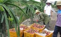 澳大利亚开始考虑进口越南新鲜火龙果