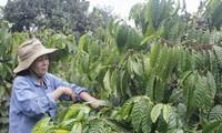 多乐省可持续生产咖啡