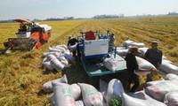 九龙江平原地区冬春造水稻价格仍居高位