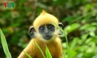 吉婆岛上的叶猴守护者