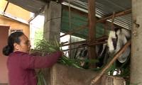 靠山羊圈养脱贫致富的妇女——黎氏金鸾