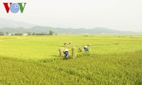 FAO: Vietnam among world's largest rice producers