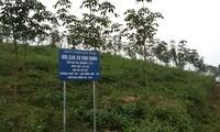 Cao su xanh đất đồi Yên Bái