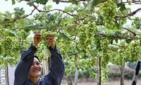 Nông dân Ninh Thuận trồng nho phát triển bền vững