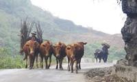 Nghề nuôi bò thương phẩm trên cao nguyên đá Hà Giang