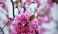 Sắp diễn ra Lễ hội Hoa anh đào tại Đồng Nai
