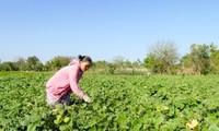 Ninh Thuận chuyển đổi cây trồng phù hợp với nắng hạn