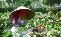 Sơn La công bố chỉ dẫn địa lý cà phê Sơn La