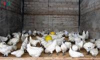 การเลี้ยงไก่ดำสมุนไพร - มาตรการแก้ปัญหาภัยแล้งของชาวบ้านเชิงหวาย