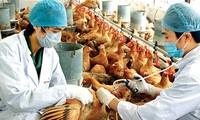สหประชาชาติช่วยเหลือเวียดนามรับมือกับการแพร่ระบาดของโรคไข้หวัดนก