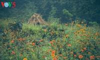 Hoa cúc dại, nét duyên ngầm của vùng cao nguyên đá