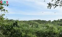Vườn cò Bằng Lăng, 1 trong những sân chim lớn nhất vùng đồng bằng sông Cửu Long