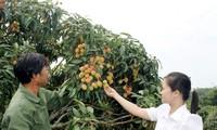 Bắc Giang: Bàn giải pháp đẩy mạnh tiêu thụ sản phẩm vải thiều