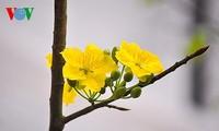 Lễ hội hoa Anh đào – Mai vàng Yên Tử diễn ra từ ngày 24-28/03