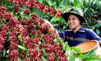 Buon Ma Thuot coffee festival kicks off