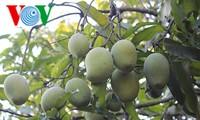 Nông dân tỉnh Sơn La bảo tồn và phát triển thương hiệu xoài Yên Châu