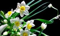 คนเวียดนามนิยมประดับบ้านด้วยดอกจุ้ยเซียนในเทศกาลตรุษเต็ต