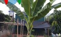 กล้วยงวน-อาหารจานเด็ดของชนเผ่าไทที่เอียนโจว์
