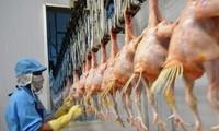Lô gà đầu tiên của Việt Nam xuất sang Nhật vào ngày 9/9
