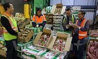 Trái thanh long của Việt Nam bắt đầu được bày bán ở Australia