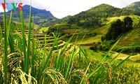 Рисовые террасы в уезде Мукангчай – красоты горного края