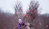 ดอกไม้จากหมู่บ้านต่างๆในกรุงฮานอยเริ่มอวดโฉมสวยงามต้อนรับเทศกาลตรุษเต็ต