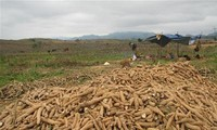 Vietnam, Japan cooperate for high-yield cassava