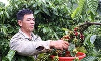 Dak Lak coffee farmers supported with sustainable farming techniques