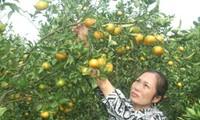 Das Dorf Cao Phong baut Markenzeichen für ihre Orangen auf