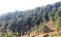 Volksgruppe der Dao in Provinz Yen Bai kämpft dank dem Zimtanbau gegen die Armut