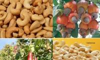 Export von Cashewnüssen steigt, gutes Signal für vietnamesische Landwirtschaftsprodukte