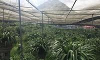 Orchideen-Bepflanzung ist der Ausweg aus der Armut der Bewohner in der Gemeinde Ta Phin