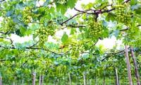 Modell über Weinanbau und –verarbeitung von Ba Moi in der Provinz Ninh Thuan