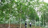 Der Kautschukbaum trägt zur Armutsminderung in Dien Bien bei