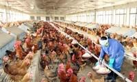 สหรัฐให้การช่วยเหลือเวียดนามเพิ่มความสามารถในการป้องกันโรคไข้หวัดนก