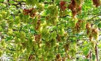 เกษตรกรนิงถ่วนปลูกองุ่นเพื่อพัฒนาอย่างยั่งยืน