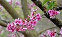 Ha Long cherry blossom festival 2016 to open