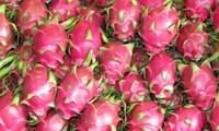 越南向泰国市场出口首批100吨火龙果