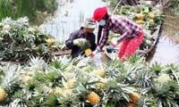 越南南方前江省菠萝价格猛涨