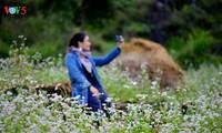 Visitan Ha Giang en la época de las flores del alforfón