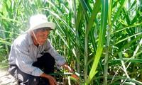 Hâu Giang: des foyers agricoles d'élite
